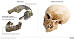 Cráneo de Naledi y Homo Sapiesns actual